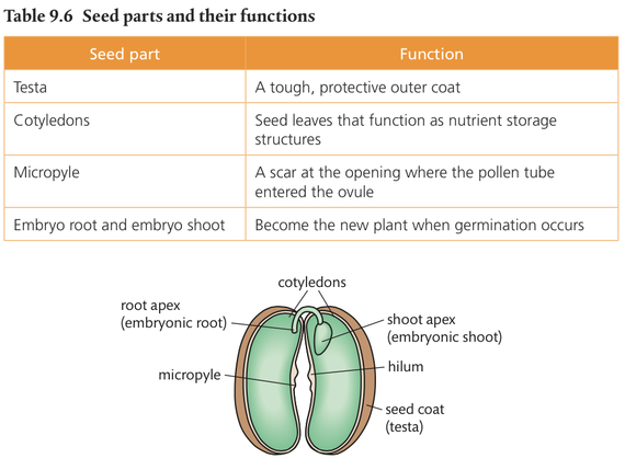 seed structure and function diagram dicot seed diagram and function