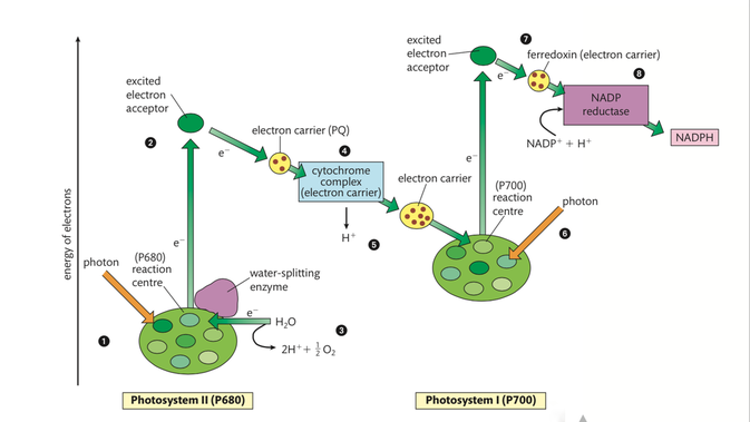 Photosynthesis higher level biology 2016 they supply chemical energy for the light independent reaction to occur atp production in photosynthesis is very similar to atp ccuart Gallery