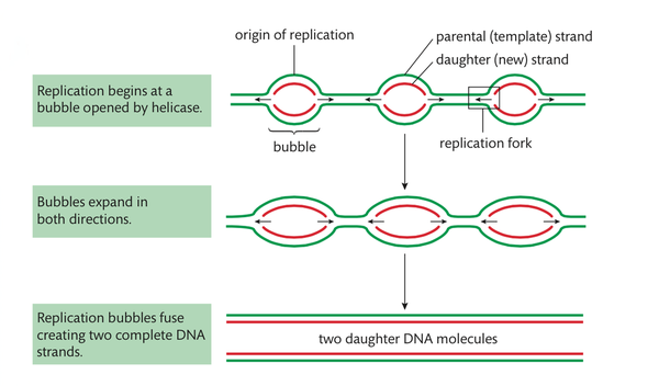 Dna Structure And Replication Hl Biology 2016